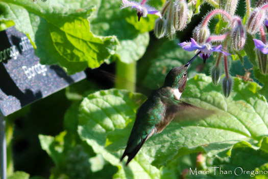 Hummingbirds Buzz on Borage