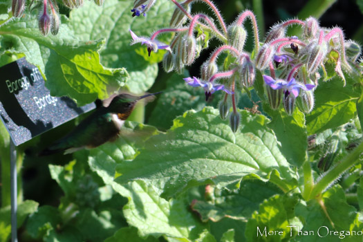 Hummingbird and borage