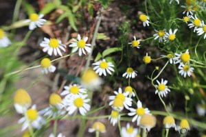 Chamomile – 4 Great Reasons To Grow This Dreamy Herb