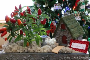 Uniquely Festive ~ Ornamental Pepper Fairy Garden