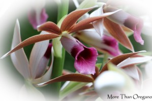 Phaius Orchids Brighten Winter Days