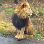 Fuji Safari Park Lion