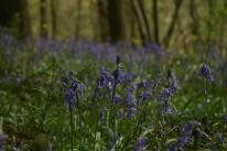 Badby_Bluebells_27_april_2014_04