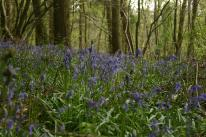 Badby_Bluebells_27_april_2014_07
