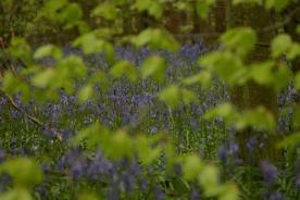 Badby_Bluebells_27_april_2014_10