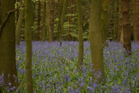 Badby_Bluebells_27_april_2014_20