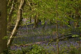 Badby_Bluebells_27_april_2014_43