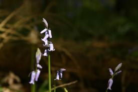 Badby_Bluebells_27_april_2014_53