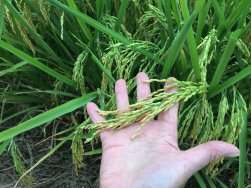 Rice getting close to harvest time