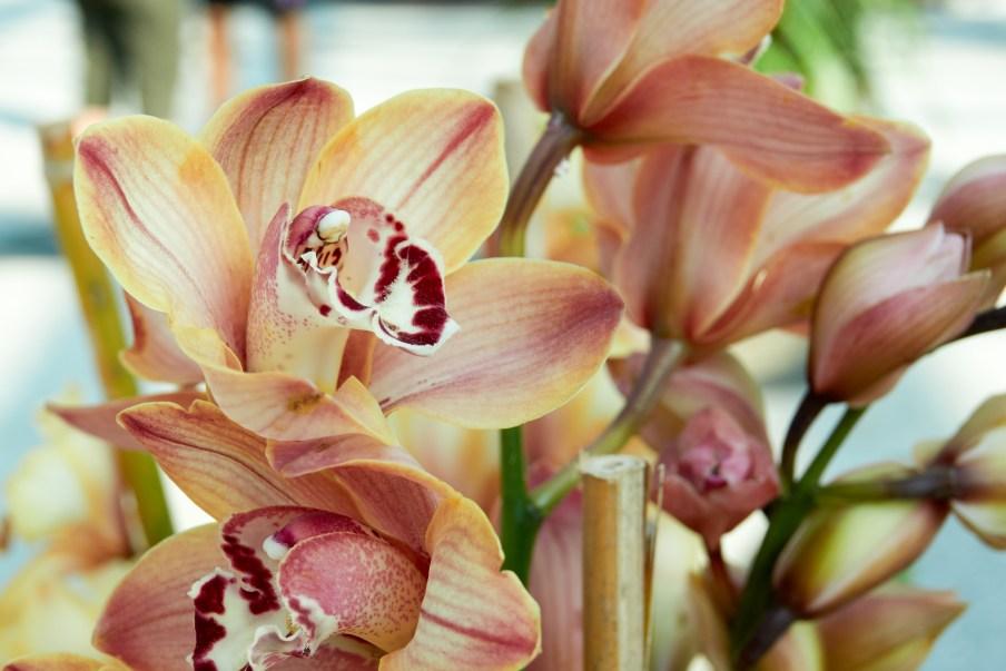 reddish orchid