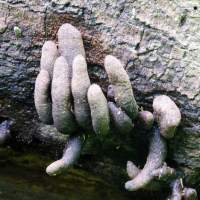 Dead man's fingers - Xylaria Polymorpha Mushrooms
