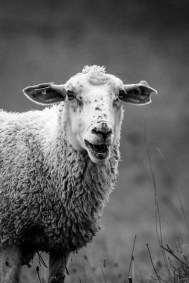 Piercing et coupe punk pour ce mouton
