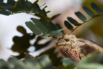 Un caméléon se déplace sur une branche, la gorge gonflée et colorée