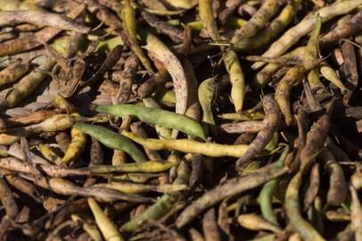 La récolte de haricots est étalée au soleil pour les faire sécher afin de les conserver