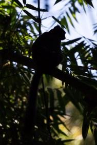 Un grand hapalémur se repose entre deux grignotage de bambou, son plat favori