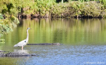 Gatorland: Great Blue Heron and American Alligator