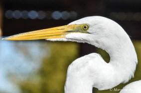 Gatorland: Great Egret