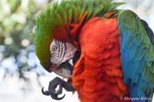 Gatorland: Macaw