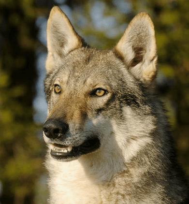 Loup Tchèque