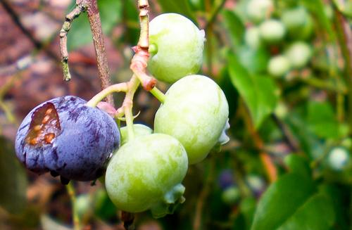 blueberrywars-4