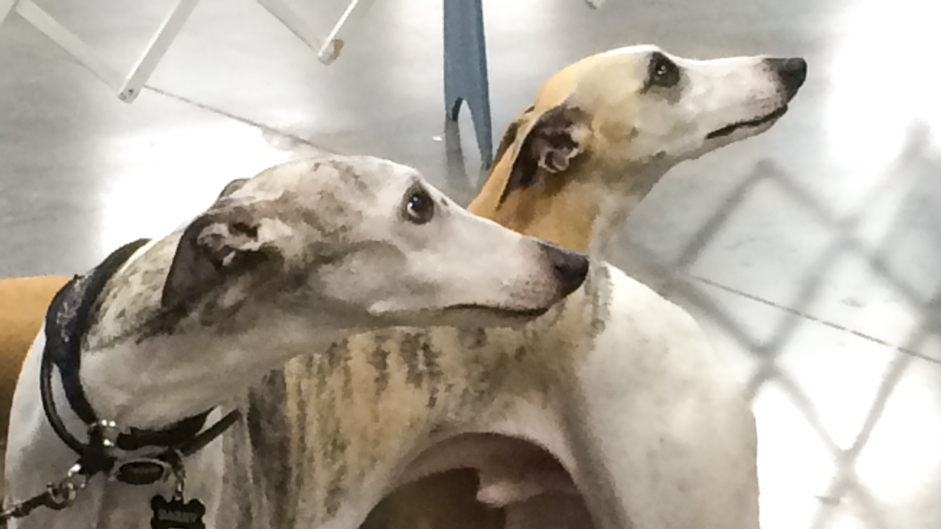 dog-greyhounds