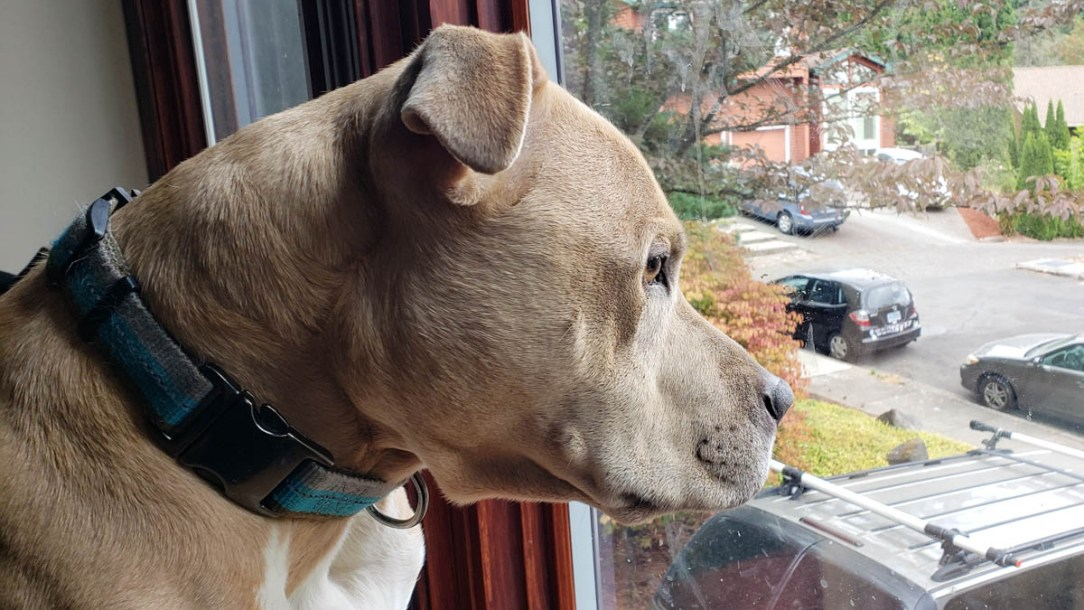 Thor the pit bull