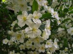 spring blooms on plum tree