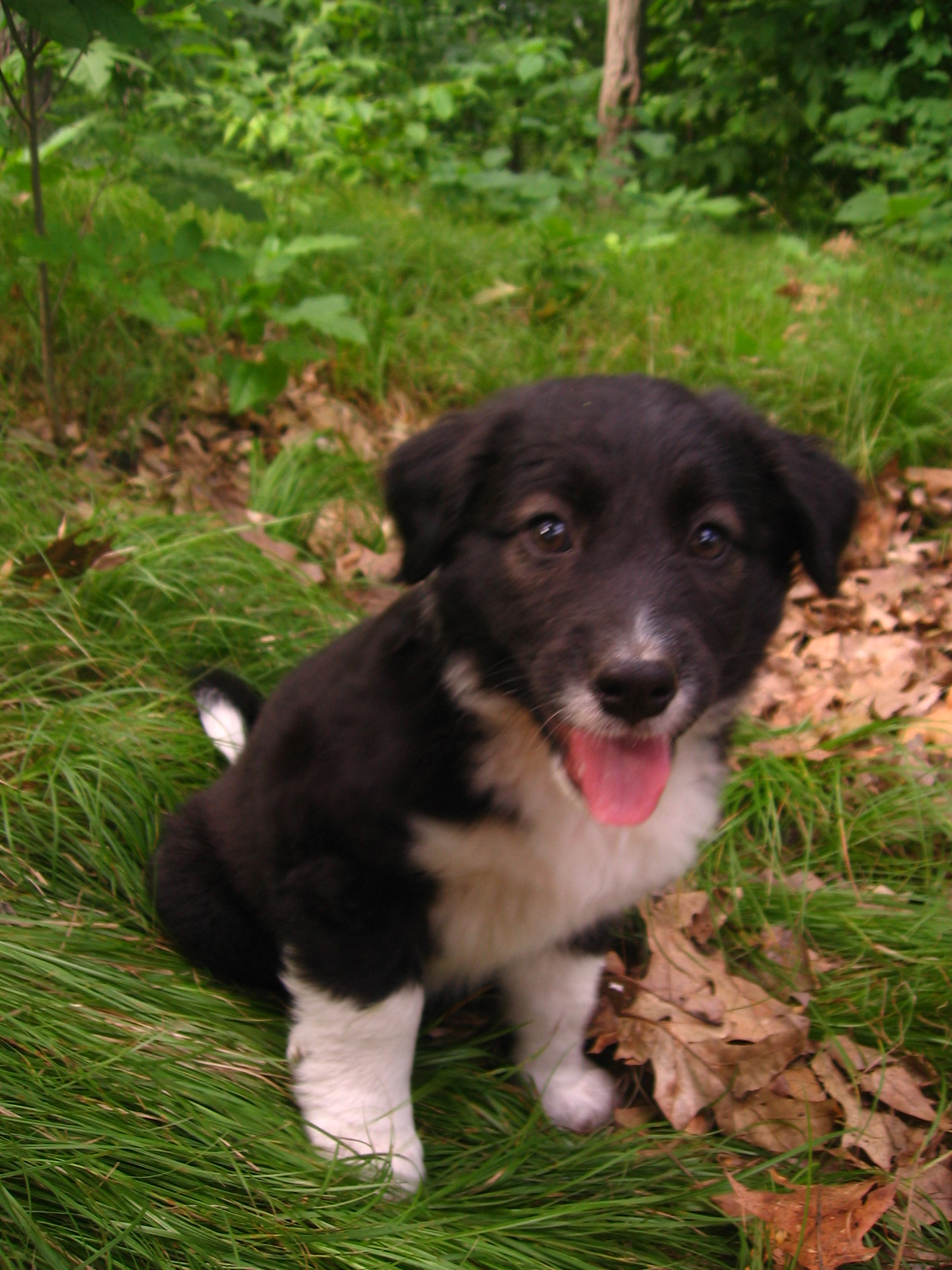 English Shepherd Puppy Page | Morganic Farm
