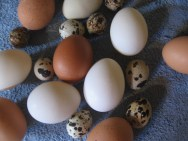 chicken, duck and quail eggs
