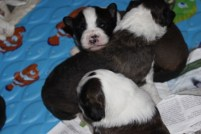 3 male pups