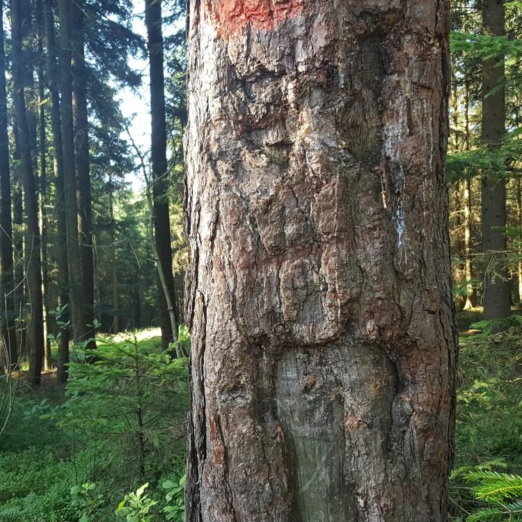 ein Baumgesicht im Kobernaußerwald bei Steinröd, Uttendorf
