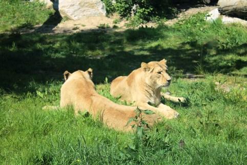 Lions (4)