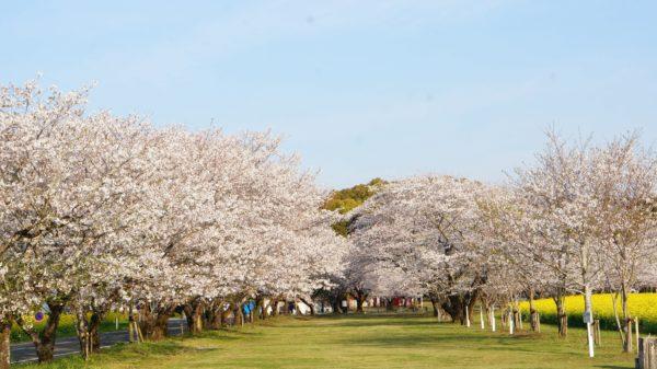 西都原桜1