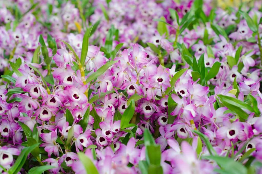 金釵石斛,中藥材原植物