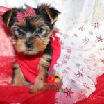 Available Micro Teacup Yorkies Toy Yorkie Puppies Yorkie Terrier Puppies Parti Yorkie Puppies Chocolate Yorkie Puppies Merle Yorkie Puppies Socal Yorkie Teacup Puppies Yorkie Puppies For Sale Quality Tiny Teacup Toy Puppies Yorkies