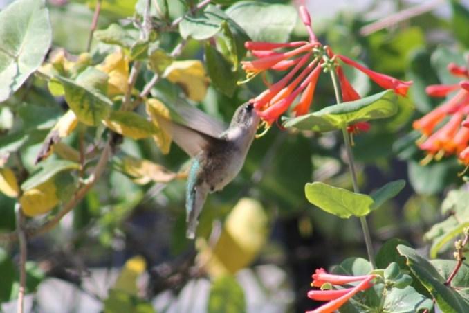 hummingbirds3