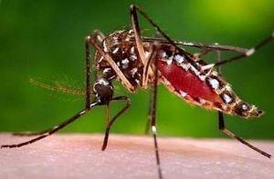 ヒトスジシマカ(Aedes albopictus)