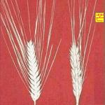 これは小麦の芒、稲にも少し芒があります