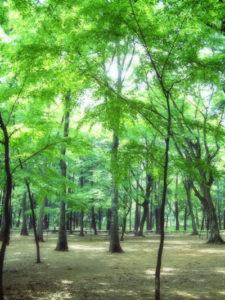 最初のモリパパHPに使用った森のイメージ