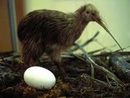 El kiwi, esta vez el pájaro. (4/5)