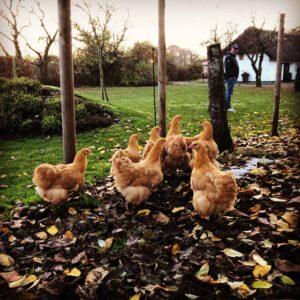 Vores høns er væk - nye er flyttet ind!