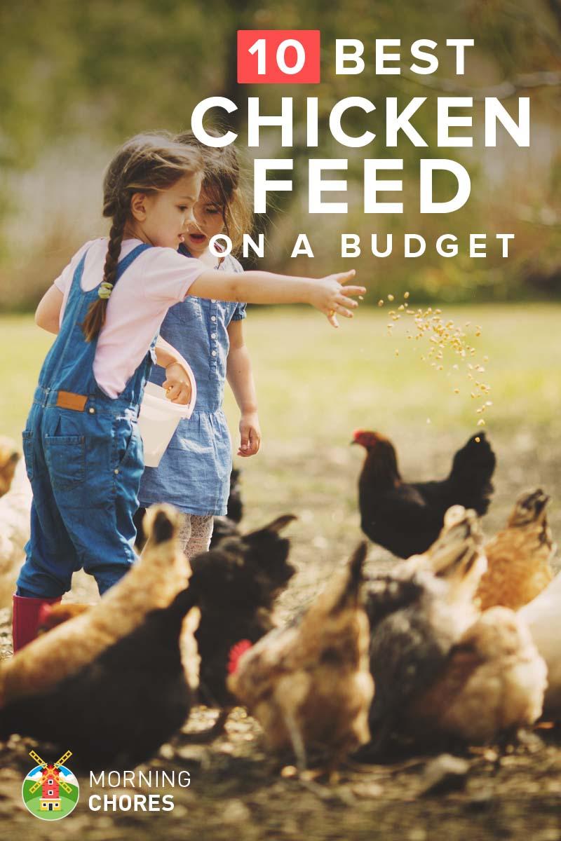 10 Cheap Chicken Feed That Won't Break Your Wallet, yet Still High in Nutrients