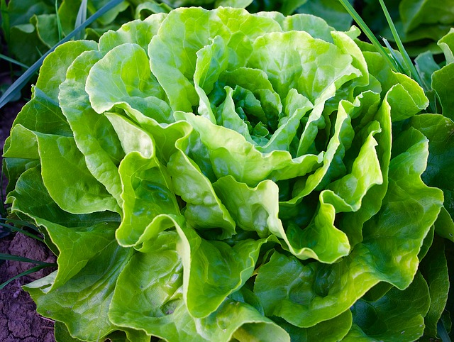 Lettuce is good for gardening in small spaces