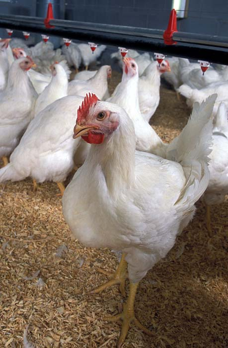 Top 10 Chicken Breeds For Meat