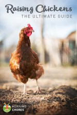 Raising Chickens: The Ultimate Guide