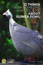 12 Things I Wish Someone Had Told Me Before I Got My First Guinea Fowl