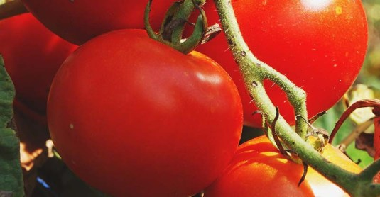 Growing Tomatoes: All You Need to Know About Planting Tomatoes