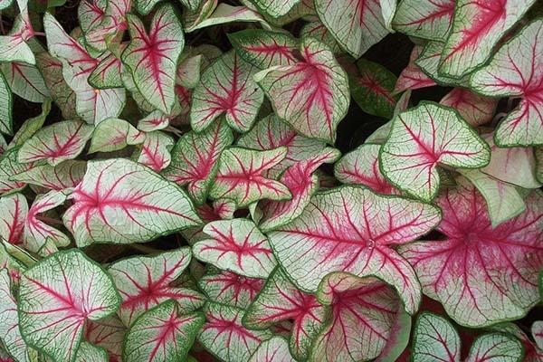 fancy-leaf-2