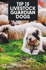 10 of the Best Livestock Guardian Dog Breeds to Help Protect Your Farm