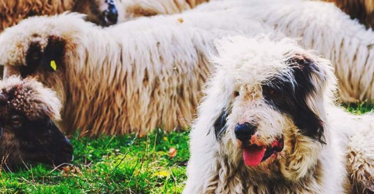 10 Best LGD Farm Dog Breeds to Herd & Protect Your Livestock